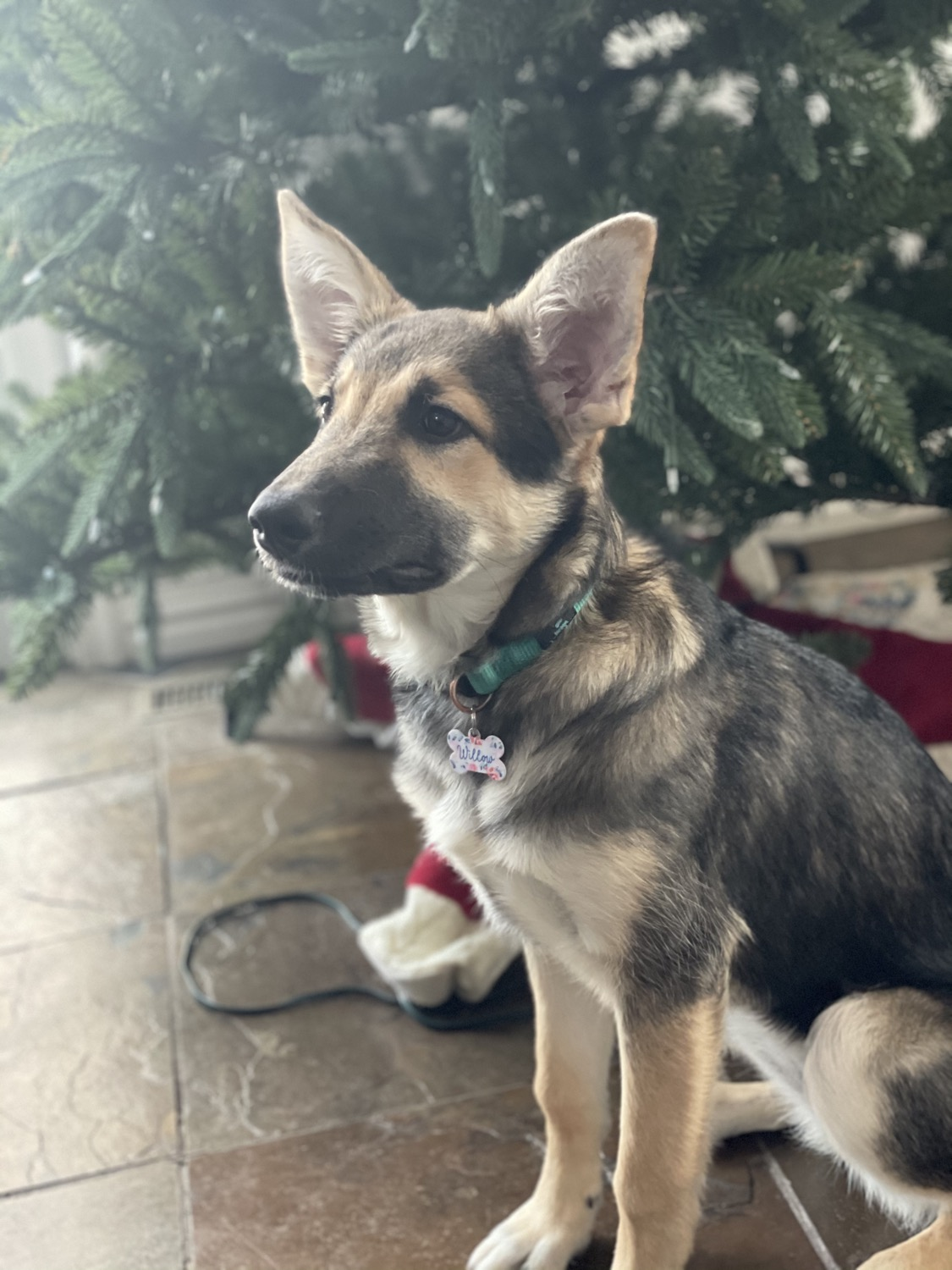 Provide a home for a service dog in training